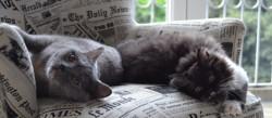 Deux chats gris sur un fauteuil à imprimerie de journaux
